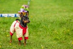 Pincher Pinscher on the green grass. Beautiful Pincher Pinscher in a funny jacket outdoors on green grass Royalty Free Stock Images