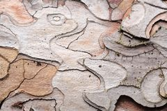 Free Beautiful Pine Bark Texture Close-Up Royalty Free Stock Image - 154439916