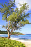 Beautiful pine on the beach Anse Cocos Royalty Free Stock Photo