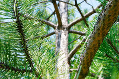 Beautiful pine branch. Close shot with blurred background Royalty Free Stock Photos