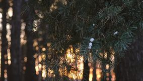 Beautiful pine branch at sunset swinging wind, snow on pine branch, winter evening forest on background of the sun stock footage