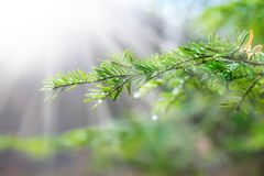Beautiful pine branch with water drops and spider web. In light ray Royalty Free Stock Photos