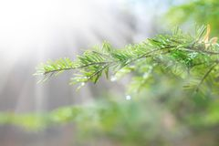 Beautiful pine branch with water drops and spider web. In light ray, toned Royalty Free Stock Image