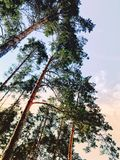 Beautiful Pine Branches With Big Large, Beautiful Forest Landscape At Sunset Image With Retro Toning Royalty Free Stock Image