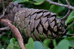 Beautiful pine cone on green leaves close up royalty free stock photo