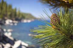 Beautiful Pine Cone on Tree Near Lake Shore Stock Photography