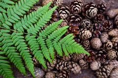 Beautiful pine cones and fern are laid out on the ground. Patterns in nature Royalty Free Stock Photography