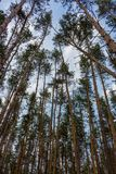 Beautiful pine forest against blue sky bottom view. Vastness and wilderness concept. Pine wood. Beautiful pine forest against blue sky bottom view. Tall pine Stock Photos