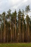 Beautiful pine forest against blue sky. Vastness and wilderness concept. Pine wood. Beautiful pine forest against blue sky. Tall pine trees scenery. Vastness Stock Photography