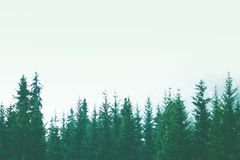 Beautiful pine forest in the fog mountain slopes Stock Images