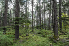 Beautiful pine forest stock photography