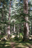 Beautiful pine forest in Manali, Himachal Pradesh, India Stock Photo