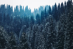 Beautiful pine forest mountain slopes Color toning Royalty Free Stock Images