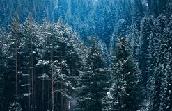 Beautiful pine forest mountain slopes Color toning Stock Images