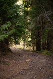 Beautiful pine forest with a nice mild light coming from far away stock photos