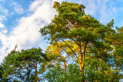 Beautiful pine forest Stock Images
