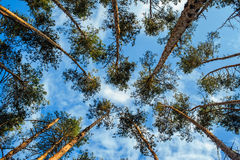 Beautiful pine forest on the sky background Stock Image