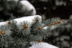Beautiful pine forest in the snow royalty free stock photo