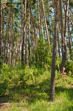 Beautiful pine forest Royalty Free Stock Photography
