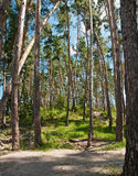 Beautiful pine forest Stock Photos