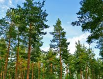 Tall pines in a pine forest. Beautiful pine forest, Sunny day, tall trees, natural background, green pine trees, evergreen plants, natural Park royalty free stock photos