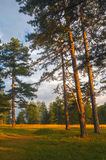 Beautiful pine forest on sunny summer day Stock Image