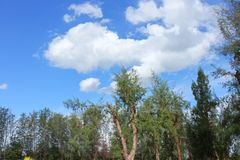 Beautiful pine forest under Blue sky bright with white cloud. And raincloud motion : You may be use as background Royalty Free Stock Photos