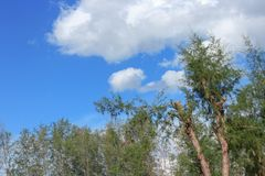 Beautiful pine forest under Blue sky bright with white cloud. And raincloud motion : You may be use as background Royalty Free Stock Image