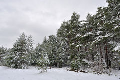 Beautiful pine forest in winter under the snow Royalty Free Stock Photo
