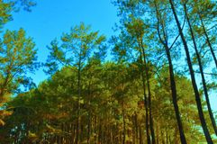 Beautiful pine forest in Yogyakarta royalty free stock images