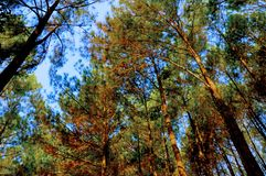 Beautiful pine forest in Yogyakarta royalty free stock photography