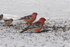 Beautiful pine grosbeaks Royalty Free Stock Image
