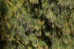 Beautiful pine needles with cones Stock Images