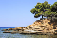 Beautiful pine on a stone ledge. Royalty Free Stock Images