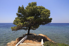 Beautiful pine on a stone ledge. Royalty Free Stock Photos
