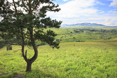 Beautiful pine on top of Altai Mountains. Stock Photography