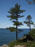 Beautiful Pine tree. Pine trees on Little presque isle Stock Image