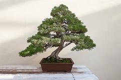 Beautiful pine tree bonsai Stock Image