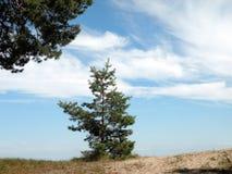 Beautiful pine tree Stock Images