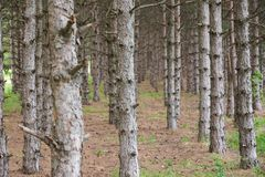 Pine tree forest in the spring. Beautiful pine tree forest for background royalty free stock photography