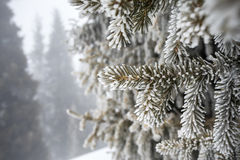 Beautiful pine tree in frost Royalty Free Stock Image