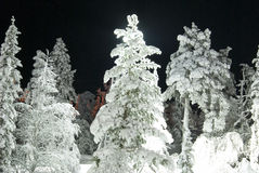 A beautiful pine tree shot at night. Stock Photo