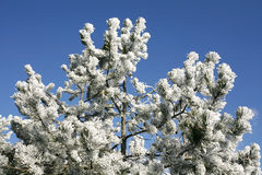 Beautiful Pine Tree  in Winter Forest Frosty Winter Day Royalty Free Stock Photography