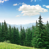 Beautiful pine trees Stock Image