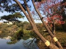 Japanese pine tree in garden Royalty Free Stock Photos