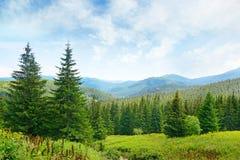 Beautiful pine trees Stock Image