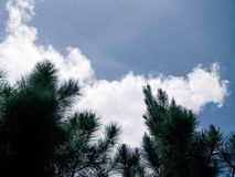 Beautiful pine trees on background high mountains. And blue sky stock photos
