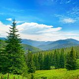 Beautiful pine trees on background high mountains. Stock Image