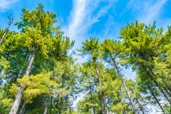 Beautiful pine trees  with blue sky . Royalty Free Stock Photo
