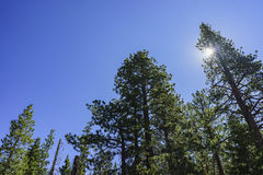 Beautiful pine trees with blue sky Stock Photo